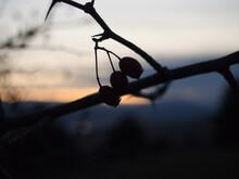 Thorn Bush Berries At Sunset