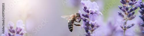 Obraz na plátne Honey bee pollinates lavender flowers
