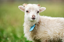 Young Ouessant Sheep Or Lamb With Blue Tag Around Neck, Grazing On Green Spring Meadow, Closeup Detail
