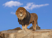 Male Lion Standing Proudly On A Cliff Rock Looking At The Camera With Blue Sky In Background.
