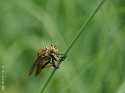 Fotografie, Obraz Robber fly is holding on a plant stem. Facing right.