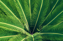 Cycas Revoluta, Also Known As Sago Palm, Closeup Of Leaves