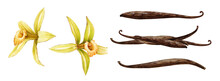Vanilla Orchid Flower With Beans Watercolor Set. Hand Drawn Realistic Aroma Spice Herb With Dry Seed Pods. Yellow Orchid Tropical Plant Collection. Vanilla Flower Botanical Illustration Element.