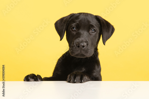 Photo Portrait of a cute black labrador retriever puppy on a yellow background with it