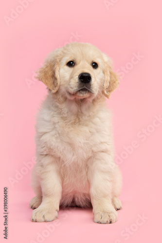 Photo Cute sitting  golden retriever puppy looking up on a pink background seen from t