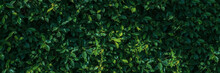 Banner Dark Green With Blue Shade Leaves Ficus Annulata (Banyan Tree) Bush With Natural Light Eco Friendly Background.Tidewater Green Colour Trends 2021