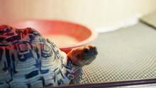 A Leopard Tortoise Closeup