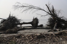 "Uprooted Trees After A Destructive Cyclone Named ""Bulbul "" Hit The Largest Mangrove Forest Sundarbans In Bangladesh"