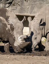 Adult White Rhino Enjoys Relaxing In The Mud On A Sunny Day