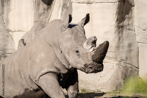 Canvas Print adult white rhino enjoys relaxing in the mud on a sunny day