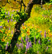 Wildflowers In The Columbia River Gorge
