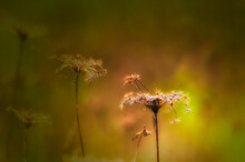 Dried Queen Anne Lace