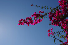 Close-up View Of The Pink Red Blossoms On A Bougainvillea Twig With Blue Sky Behind