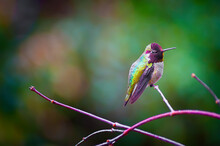 Anna Hummingbird Perched On A Branch