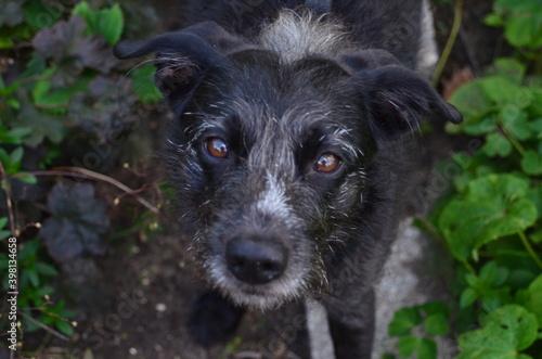 Obraz czarny pies stojący na ścieżce i patrzący w górę - fototapety do salonu