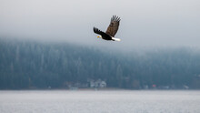 Bald Eagle Flying Over The Water On A Winter Day In Coeur D'Alene, Idaho