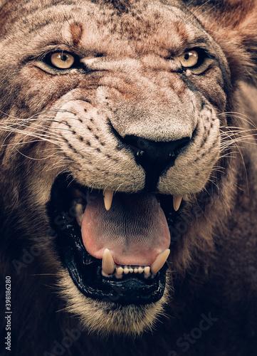 Fotografia portrait of a lion