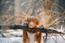 Dog In A Snowy Forest. Pet In The Winter Nature. Nova Scotia Duck Retriever Put Its Paws On A Log