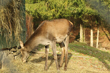 Young Deer Grazing In Forest And Eating Hay