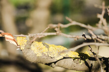 Harmful Yellow Growths On The Bark Of The Tree, Which Cover The Tree.