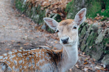 Beautiful Young Fallow Deer In The Autumn Forest, Close Up. Wildlife, Nature.