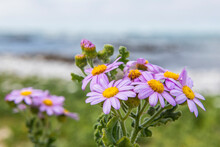 Senecio Elegans Flowers Growing Along The Coastline