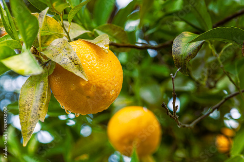 Fototapeta Orange trees in bloom