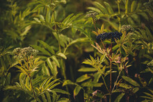 Sambucus Ebulus Curaive Plant. Ripe Fruits Of Danewort
