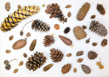 Cones Of Spruce, Pine, Cedar, Cypress, Larch, Sycamore And Others On A White Background.