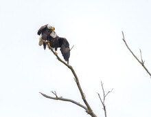 A Close View Of Two Adult Eagles Sharing A Branch In Close Proximity High Up A Tree, Looking Affectionate.