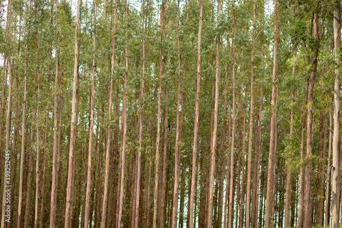 eucaliptos na natureza