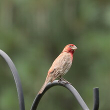 Male House Finch (Carpodacus Mexicanus) Perched On Wrought Iron Pole