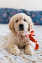 Golden Retriever In Red Bow