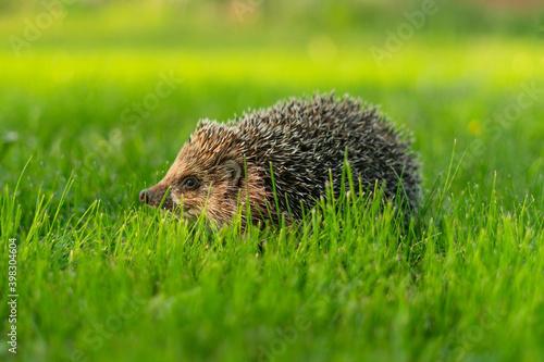 Fototapeta Little hedgehog in green grass eating