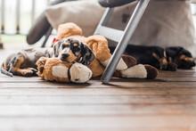Miniature Dappled Dachshund Puppy