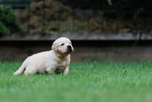 Side On View Of 4 Week Old Puppy