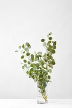 Glass Vase With Eucalyptus Plant.