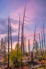 Burnt Dry Trees In Dead Forest On The Background Of Sunset Sky.