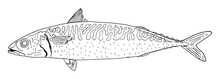 Mackerel Fish Hand Drawn, Outline. Isolated On White Background. Vector Illustration.
