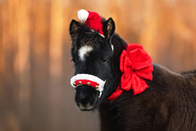Portrait Of Little Black Pony Wearing Christmas Santa Hat With Big Red Festive Bow Around Its Neck In Winter. Pet At Christmas.