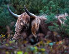 Scottish Highland Cattle Bull With Horns Amongst Green Foliage