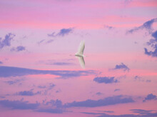 Little Egret Flying In Beautiful Evening Pink Sky After Sunset