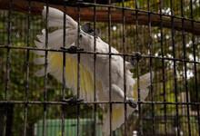 Funny White Crested Cockatoo Cacatua Alba In Captivity