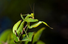 Green Mantis Resting In The Leaves. Macro Photography.