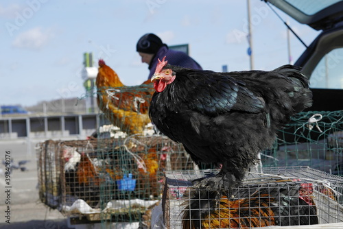 Photo black cock country on the farm marcet