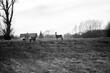 Trzy sarny pasące się blisko zabudowań wiejskich