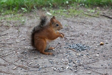 Red Squirrel Eats Sunflower Seeds