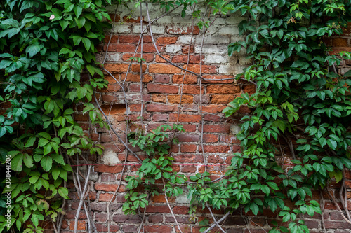 Fototapeta Shabby brick wall entwined with green ivy