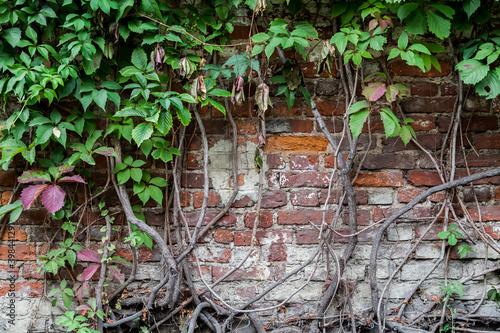 Obraz na plátně Shabby brick wall entwined with green ivy