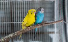 Two Budgie With Blur Background